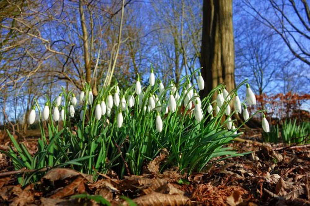 See Snowdrop Festival dates on our calendar